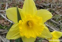 Narcisos cultivados y narcisos silvestres
