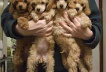 poodles! / by Missy Wright