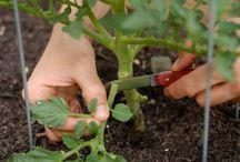 обрывать нижние листья помидоров