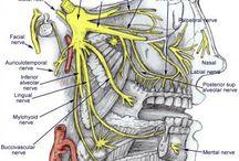 Cranial Nerves- Dental