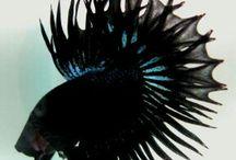 king crown tail / Betta Fish