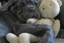 Big Kev - Neopolitian Mastiff ❤️ / Family Pet