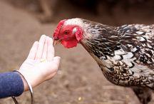 Chicken Flock Love