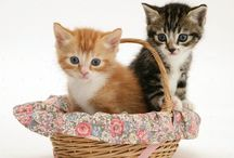Kittens in Wicker Baskets / Cute kittens looking fluffy in wicker baskets.