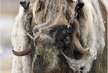 Arctic: Musk Oxen