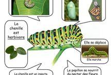 chenilles et papillon