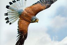 Pinit / Flying eagle