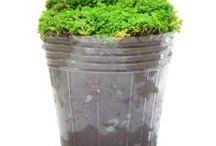 Tanaman Aquascape / Semua tanaman dalam board ini bisa dikirim keseluruh Indonesia, silahkan order ya, tel: 0341-599399 I SMS center: 08569020300 atau kunjungi website kami www.kebunbibit.id