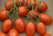 Tomato Plants 'Q - S' / Tomato Plants that begin with the letters  Q - S