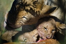 Wildlife at Tswalu / Tswalu is home to a wide variety of game including lion, buffalo, leopard, rhino, cheetah, zebra,giraffe, and many species of antelope, as well as rare and endangered species like pangolin, aardvark and aardwolf.