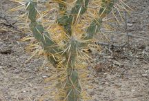 A. CYLINDROPUNTIA