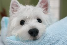 Cute Westies / by PrestonSpeaks.com A Blog From a Dog's Point of View