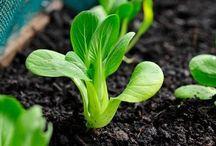 Vegetable / How to grow vegetables in your garden