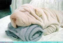 Shar peis & other wrinkly things