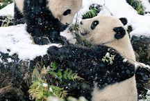 Panda bjørner