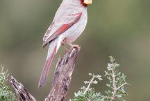 Birds - kardinalen