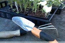Brocolli (gardening) / by Karen Rickel