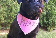 Toronto's Top Dog Contest / A proud Toronto Pug who has made it to the Finals of Toronto's Top Dog! Hoping to be named Toronto's Top Dog