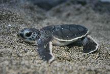 Küçük kaplumbağalar