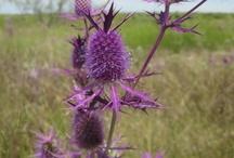 Texas Flora & Fauna