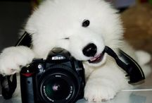 Samoyed / Wow!!