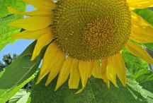 How to Grow Sunflowers / Tips for how to get sunflowers to grow in your garden