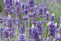 Lavendel  Stecklinge