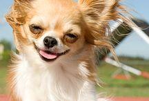 Chihuahua Sjuul