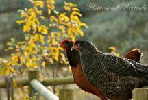 Chickens / by Rachelle Miller