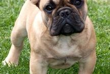 Bulldogge Frances