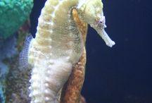 DG Seahorse