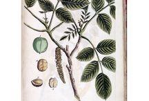Botanical - A curious herbal - Tree - Juglans (The Wallnut) p247