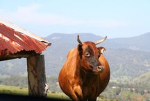 Megalong Farm Cattle / Cattle on the Megalong Farm