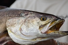 SPOTTED SEATROUT / Seatrout on the fly.  Fly fishing for seatrout.