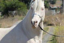 Haf arabian horses