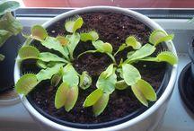 carnivorous / carnivorous plants caring