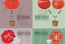 Gardening - tomato