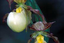 bunga kepompong
