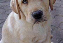 Labrador love