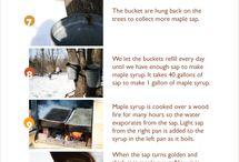 Maple syrup ( making syrup out of sap )