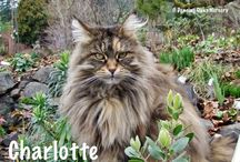 The Cats of Dancing Oaks / Dancing Oaks Nursery is currently watched over by 5 Maine Coon cats. They bring constant companionship, entertainment...and rodent control.