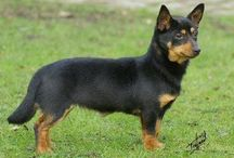 Lancashire Heeler / This breed has been in existence since the 17th century and is thought to be a cross between the Welsh Corgi and Manchester Terrier and possibly the Dachshund or other breeds. Some aficionados claim this breed is actually the ancestor of the Welsh Corgi. - See more at: http://www.noahsdogs.com/m/dogs/breed/Lancashire-Heeler#sthash.Ohf97ac1.dpuf