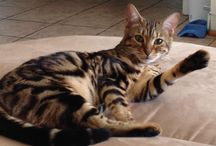 Bengal cat / #USA#lovely <3