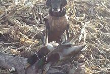 Water Dogs / Waterfowl hunting dogs