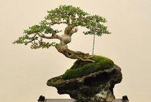 Bonsai, tree art.