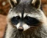 #Raccoon Removal Orlando