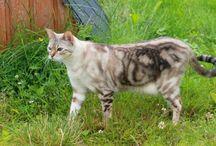 Bengal- katter.