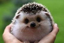 Hedgehogs / So Cute Pet