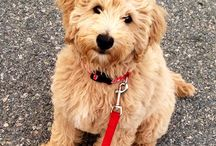 golden doodles / pictures of dogs, we ahve a standard and a miniature / by Trevor Pereira