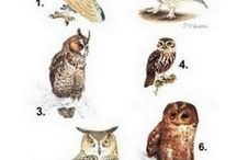 Owl drawing or painting